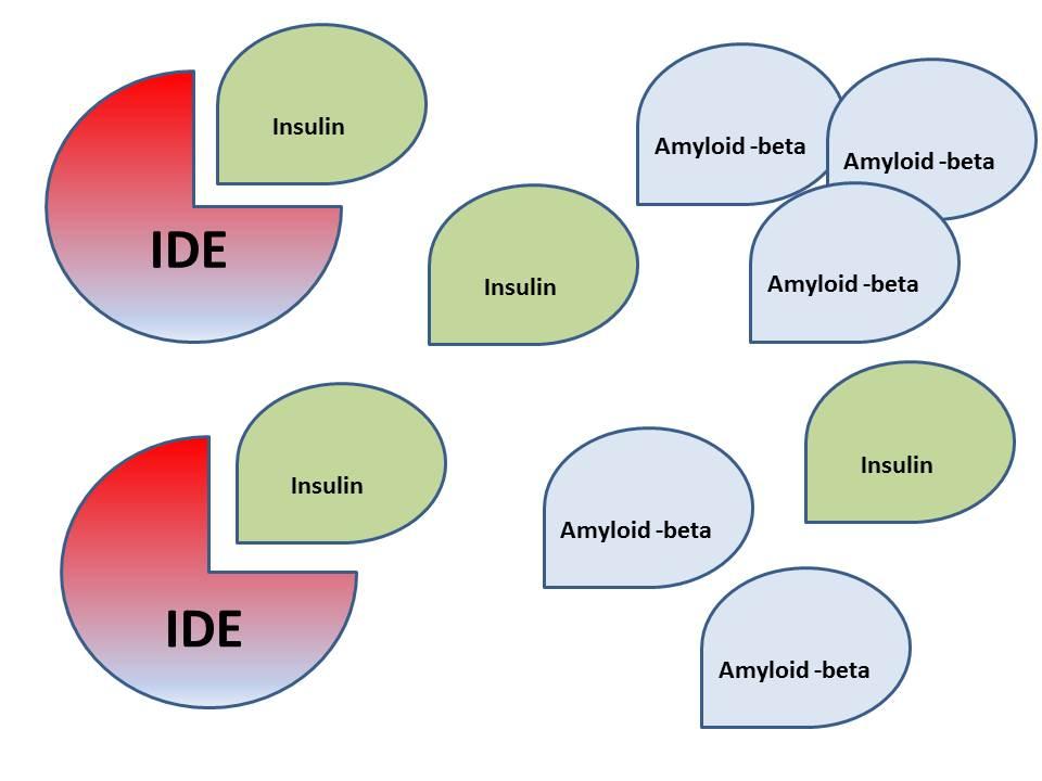 IDE har högre affinitet för insulin än amyloid-beta. Högre nivåer av insulin kan potentiellt leda till högre koncentrationer av amyloid-beta. Ifall dessa aggregerar riskerar man Alzheimers.