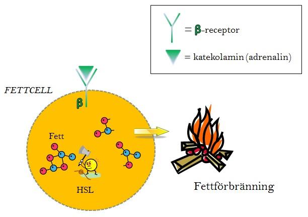 fettforbranning(1)