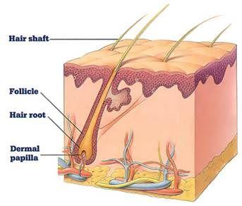 Follickeln eller hårsäcken, växer och vilar i olika faser. DHT binder till sin receptor i papillen längst ner i hårsäcken.