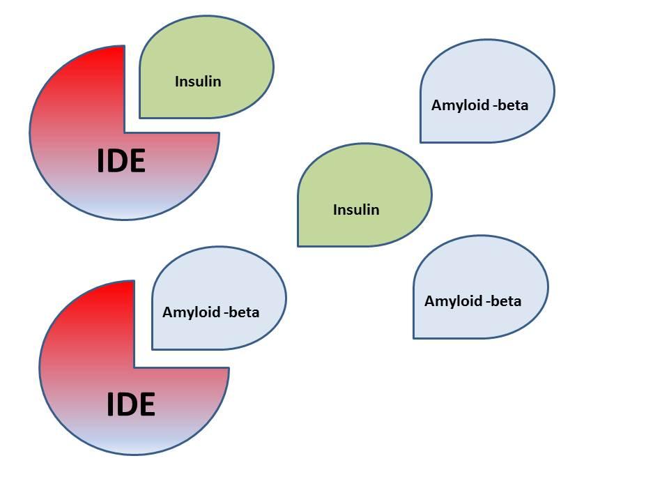 IDE bryter ner både insulin och amyloid-beta. Vid genmutationer av IDE har enzymet lägre affinitet för att bryta ner insulin och amyloid-beta. Personer som bär på mutationen har högre risk för både diabetes typ 2 och Alzheimers sjukdom.